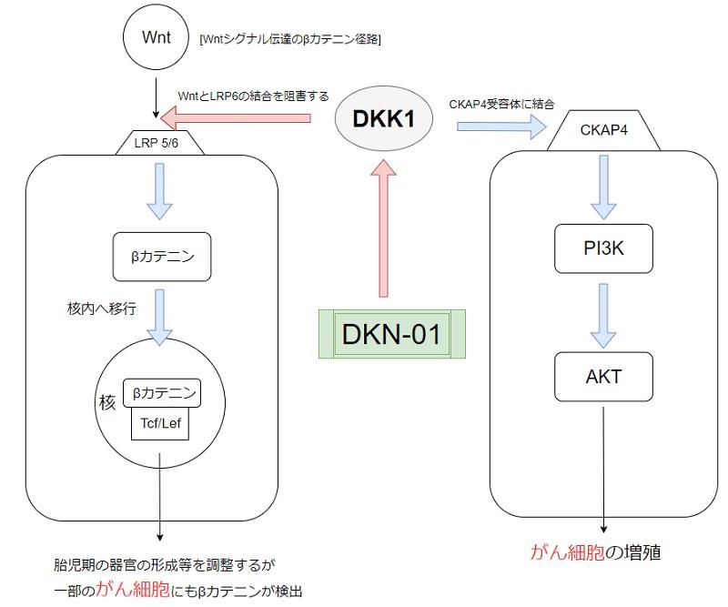 DKN-01の作用機序