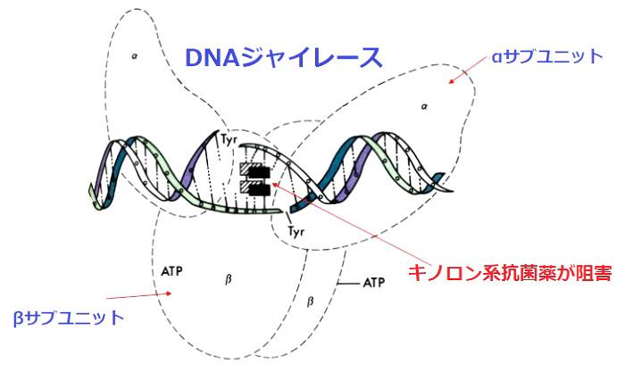 DNAジャイレースとラスビック