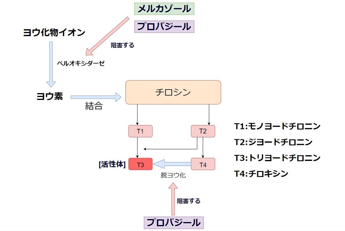 抗甲状腺ホルモンの作用